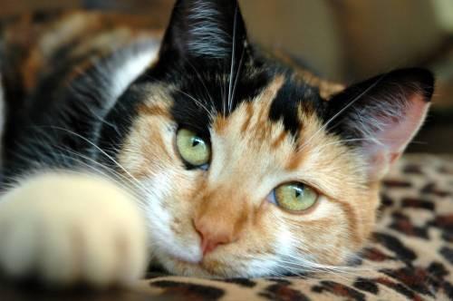 Как вывести глистов у кошки