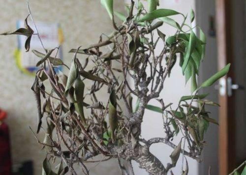 с фикуса бенджамина опадают листья