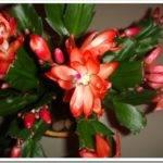 Как размножается цветок декабрист?