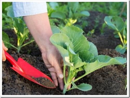 Правила подкормки капусты