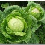 Правила подкормки капусты в открытом грунте