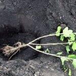 Как посадить смородину весной саженцами