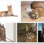 Описание породы кошек Каракет