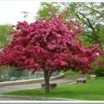 Какие есть виды декоративных яблонь и как правильно посадить саженец