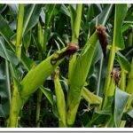 Як вибрати насіння кукурудзи та як правильно їх посадити?