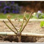 Как выбрать саженец розы и как его правильно посадить осенью
